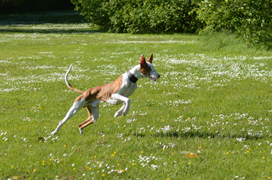 Lure-Coursing-Gizmo-6.jpg