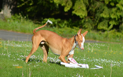 Lure-Coursing-Indy-8.jpg